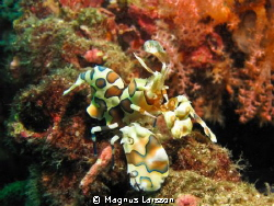Finding Harlequin shrimps walking about in the open is no... by Magnus Larsson 